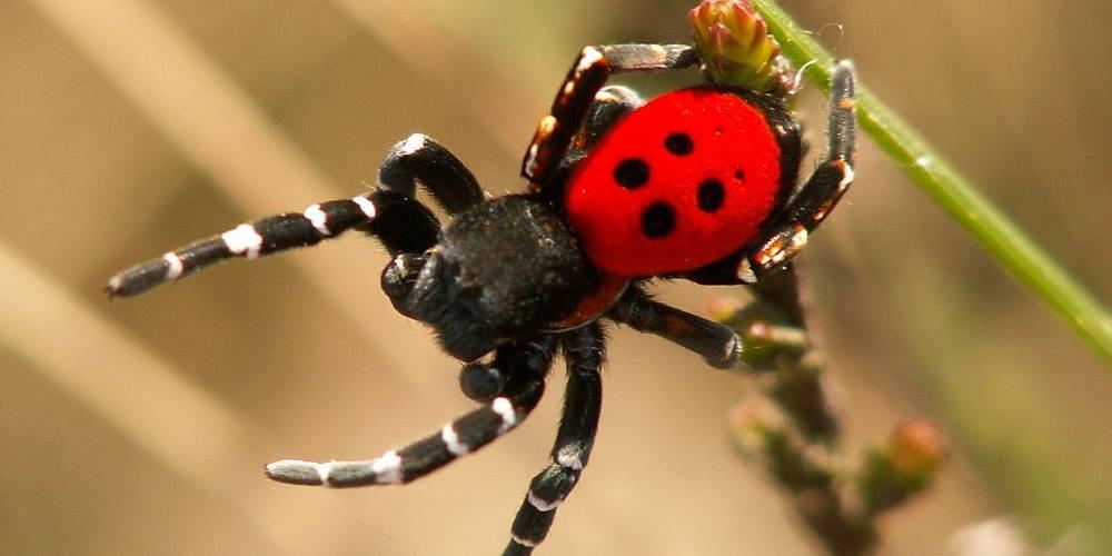 Lieveheersbeestjesspin